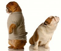 Bulldog Miffed Spouse dreamstime_m_7663328 (2)